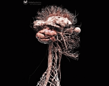 A 3D model of the upper part of the human nervous system