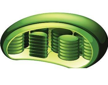 A 3D illustration of a chloroplast