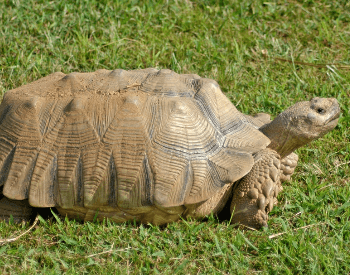 A picture of the African spurred tortoise (Centrochelys sulcata)
