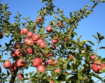 A picture of an apple tree