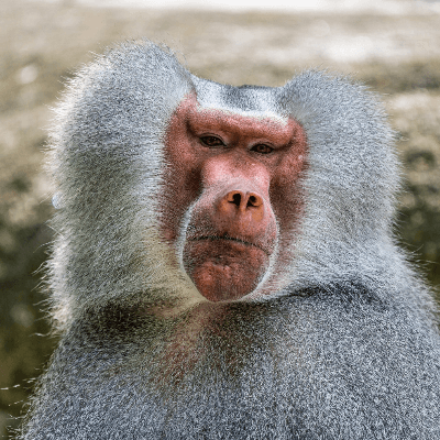 A Picture of a Baboon