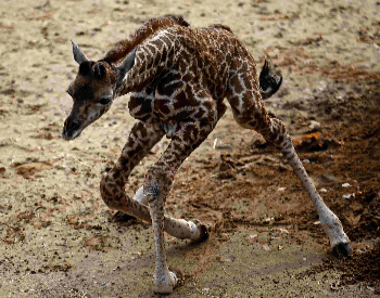 A photo of a baby giraffe trying to walk