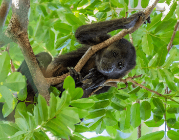 A picture of a baby howler monkey in a tree