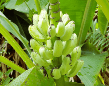A picture of an unknown species of banana plant