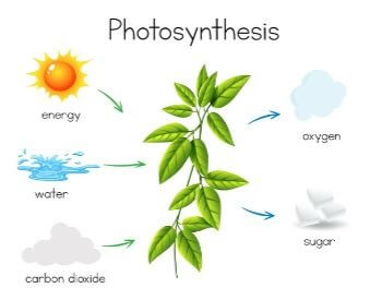 A diagram of photosynthesis for kids