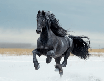 A picture of a black Friesian horse