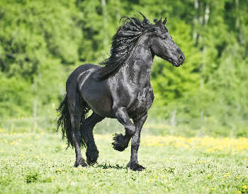 A picture of a Friesian horse stomping