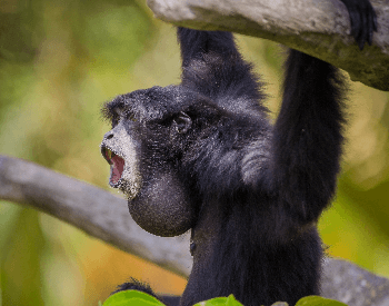A picture of a black howler monkey howling
