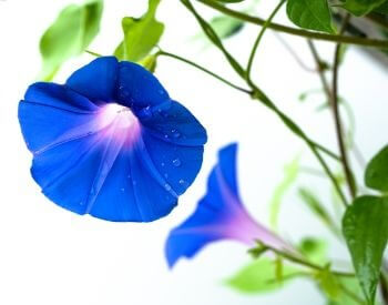 A picture of a blue morning glory flower