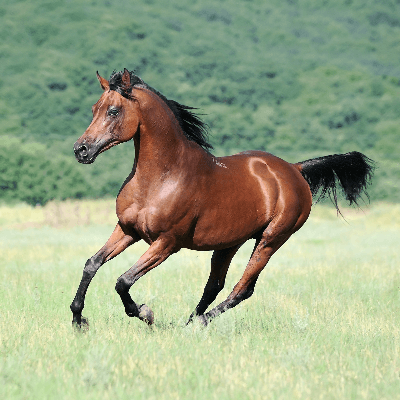A Picture of an Arabian Horse
