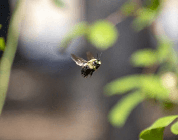 A picture of a carpenter bee in mid-flight
