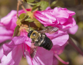 A picture of a carpenter bee on a flower