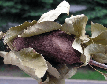 A photo of a cecropia moth's cocoon