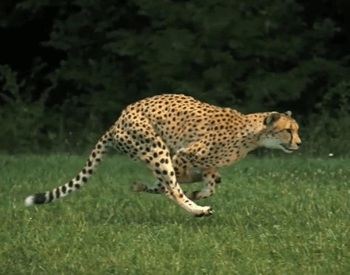 A picture of a cheetah running
