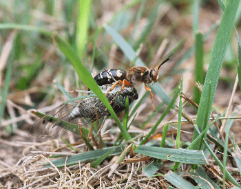 A photo of a cicada killer wasp