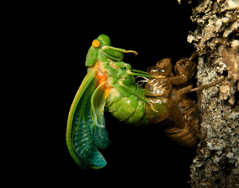 A picture of a Cicada molting