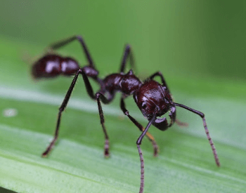 A close-up picture of a bullet ant's body