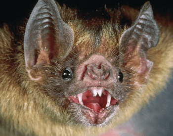 A picture of a common vampire bat head