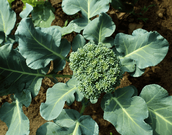 A picture of broccoli planted in the ground