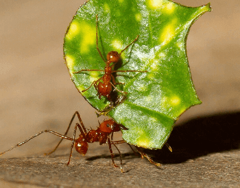 A close-up picture of two leafcutter ants
