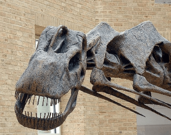 A close-up picture of an Argentinosaurus's Skull.