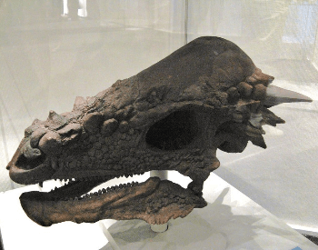 A close-up photo of a Pachycephalosaurus Wyomingensis skull
