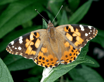A close-up picture of a painted lady butterfly