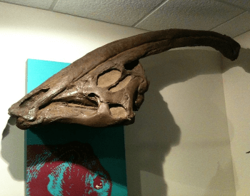 A close-up photo of a Parasaurolophus walkeri skull.