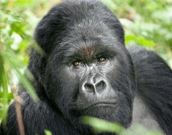 A close-up picture of a gorilla.