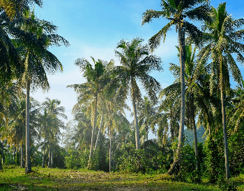 A picture of a very large coconut plantation