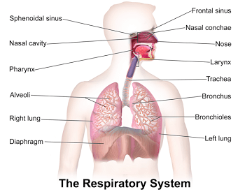 A diagram of the entire human respiratory system