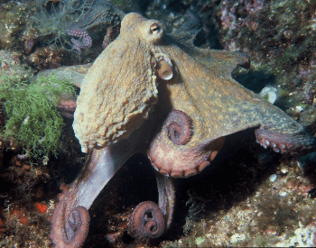 A picture of the common octopus (Octopus vulgaris)