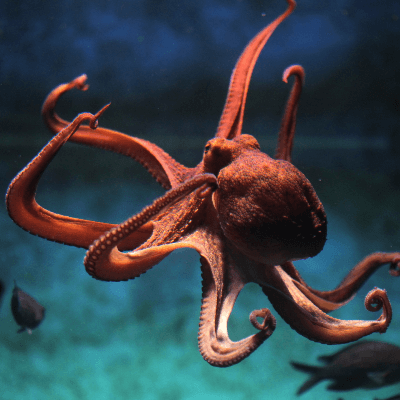 A Picture of a Octopus