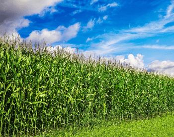 A picture of a cornfield