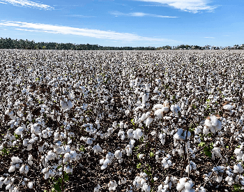 A picture of a cotton field