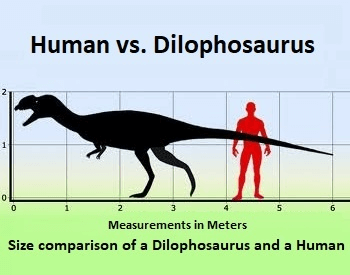 A diagram comparing the size of a human to a Dilophosaurus.