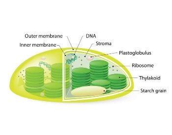 A diagram of a chloroplast