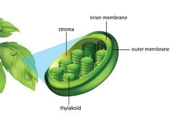 A diagram of a leaf and chloroplast