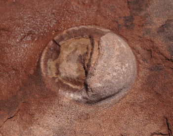 A picture of an embyro inside a fossilized dinosaur egg