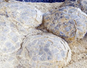A close-up picture of dinosaur eggs found in France
