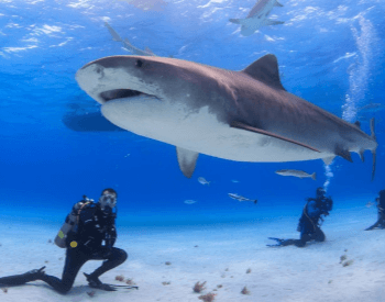 A picture of a diver with a tiger shark.