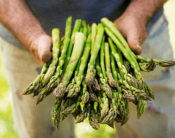 A picture of a farmer holding harvested asparagus