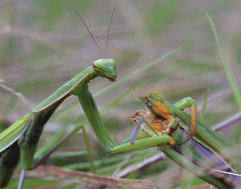 A close-up picture of a female praying mantis eating its mate