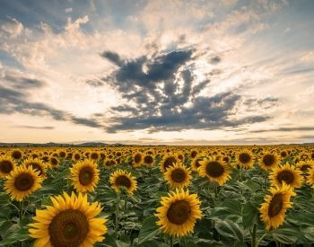 A picture of a field of sunflower plants