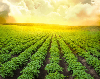 A picture of a field of potato plants on a farm