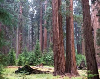 A picture of a forest full of giant sequoia trees