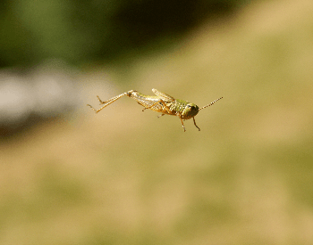 A photo of a grasshopper jumping