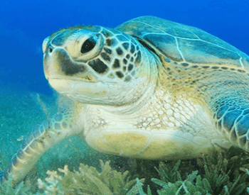 A close-up picture of the green sea turtle (Chelonia mydas)