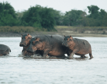 A picture of a group of hippopotamuses (Hippopotamus amphibius)