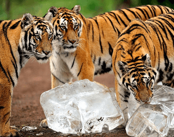 A Group of Siberian Tigers